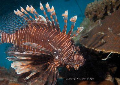 Diving Lionfish